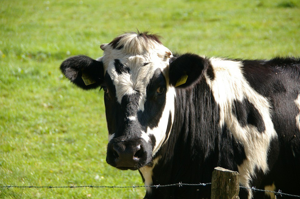 """Se viene """"Donde caga la vaca"""""""